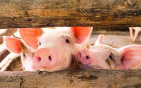 Najczęstsze problemy zdrowotne u świn